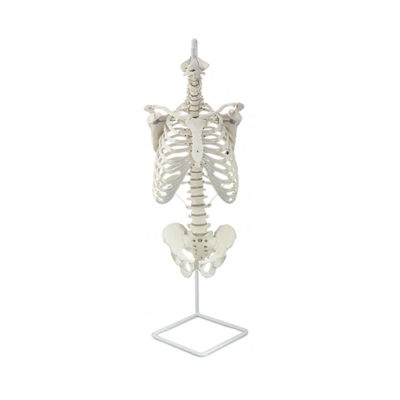 Coluna clássica flexível com costelas e cabeças de fêmur