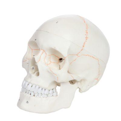 Crânio Clássico com Estruturas Numeradas 3 Partes