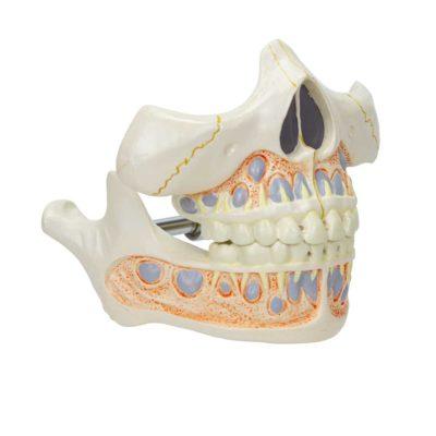Dentição de Leite DE282