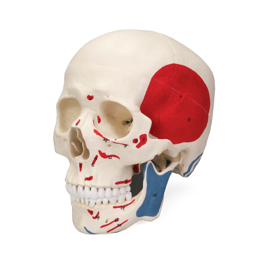 Crânio Clássico Colorido 3 Partes, tamanho natural reproduz o crânio humano em detalhes. As estruturas anatômicas mais importantes estão numeradas.