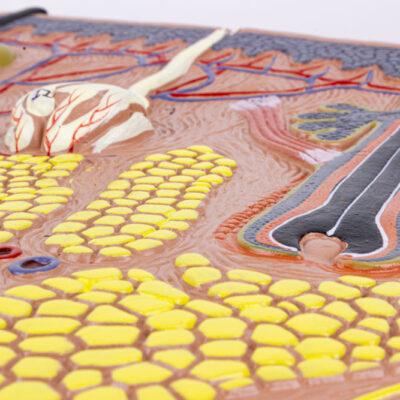 Modelo da Seção da Pele Ampliado 70 Vezes