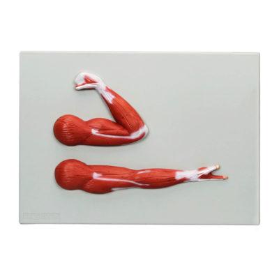 Musculatura do Braço Montado em Base