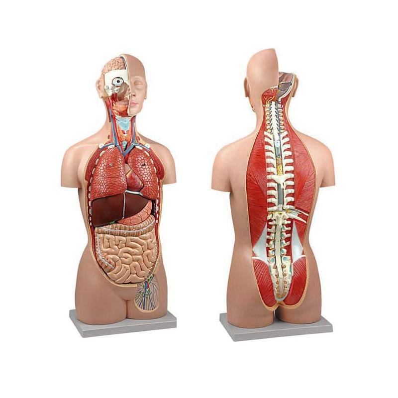 Torso Clássico Assexuado 17 Partes, em tamanho real é composto por 17 partes precisas em todos os detalhes para uso em aulas de anatomia humana.