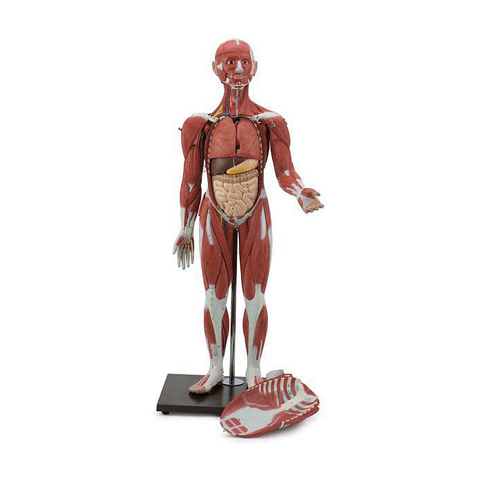 Figura Muscular Masculina e Feminina 30 Partes, metade do tamanho natural e representa uma réplica completa da anatomia muscular e órgãos humanos.