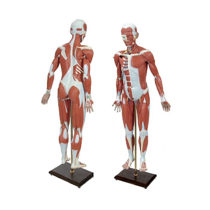 Figura Muscular 3 quartos do Tamanho Natural, é composto de 32 partes e 1.40m de altura inclui um braço muscular em 6 partes e uma perna muscular 8 partes.