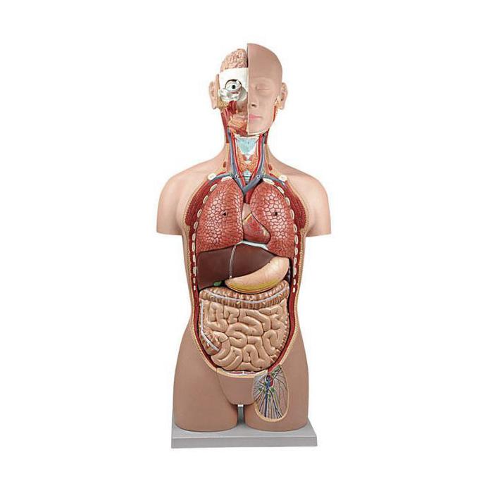 Torso Clássico Assexuado 18 Partes em tamanho natural é composto por 18 peças, proporcionando uma reprodução realista e detalhada dos órgãos internos.