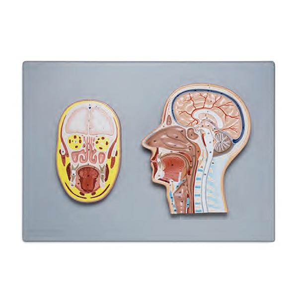 Seção Frontal e Lateral da Cabeça, é uma representação em tamanho natural e relevo mostra as estruturas internas da cabeça e pescoço.