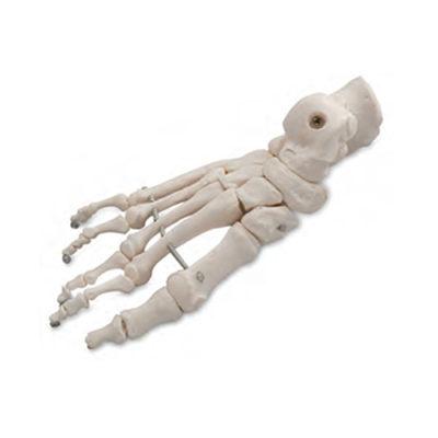 Esqueleto do Pé Montado em Arame