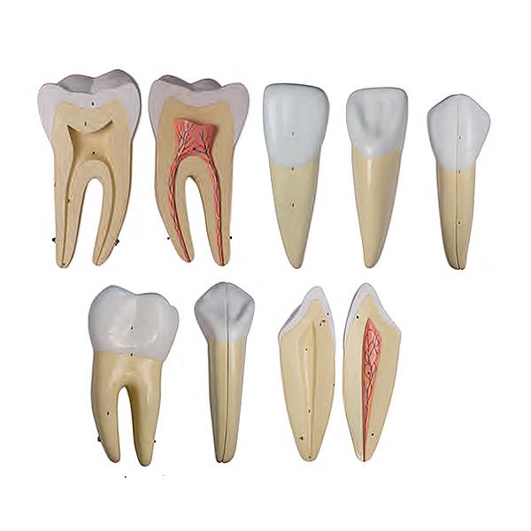 Série Clássica de Dentes Ampliados 10 Vezes