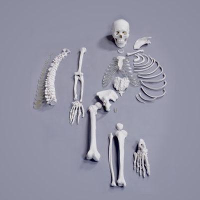 Meio Esqueleto Desarticulado