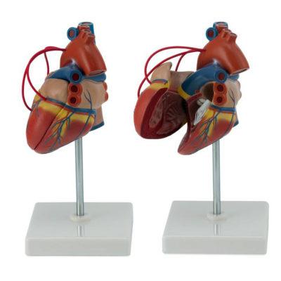 Coração Clássico para Pontagem Coronária 2 Partes