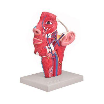 Musculatura da Cabeça com Vasos Sanguíneos