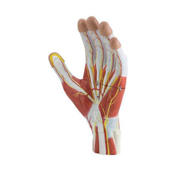 Modelo Estrutural da Mão 3 Partes, 2 vezes o tamanho natural que mostra a anatomia, incluindo músculos, nervos, ligamentos, vasos e as estruturas ósseas.