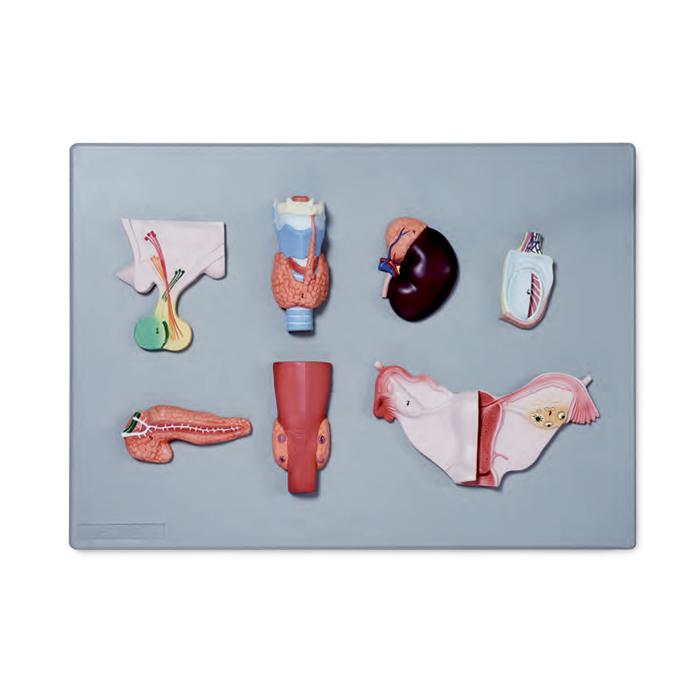 Sistema Endócrino Montado em Base, mostra a estrutura externa da glândula pituitária, tireoide, adrenal, testículo, pâncreas, paratireoide e ovário.