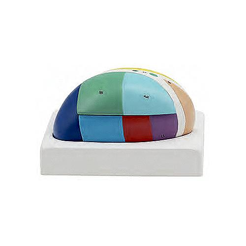 Tálamo 5 Partes é um modelo 5 vezes o tamanho natural que mostra as áreas funcionais do tálamo em cores distintas, detalhando as diferenças dos núcleos.