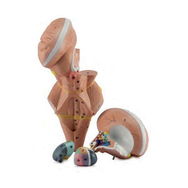 Tronco Cerebral e Núcleos do Hipotálamo Ampliado 2 vezes 4 partes, é uma representação detalhada do tronco cerebral humano e o hipotálamo.