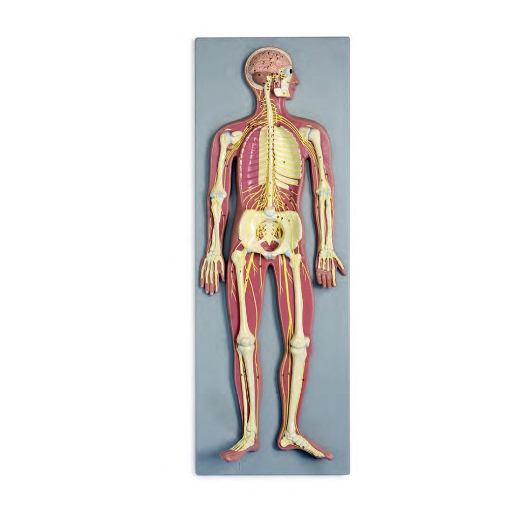 Sistema Nervoso Metade do Tamanho Natural, é um modelo em relevo no painel que mostra uma visão geral do sistema nervoso central e periférico humano.