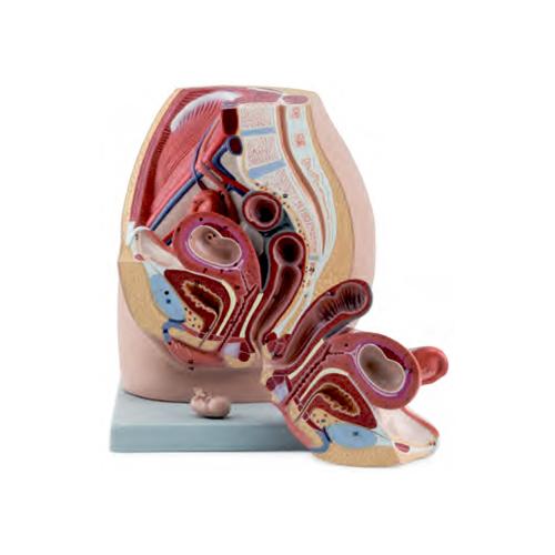 Pélvis Feminina com Embrião de 8 Semanas 3 Partes, tamanho natural com visão interna através de uma seção sagital mediana da pelve feminina.