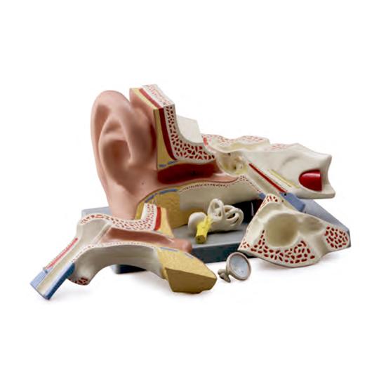 Ouvido Ampliado 3 Vezes 5 Partes Montado em Base, é um modelo 3 vezes o tamanho natural que mostra o ouvido externo, médio e interno.