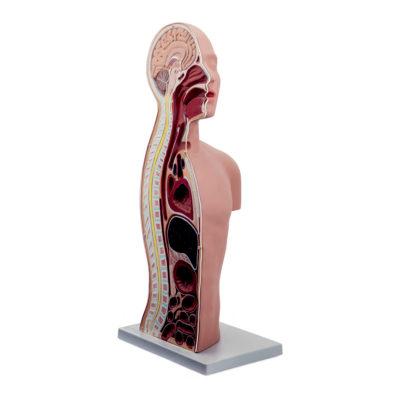 Torso para Tubo Naso Gástrico - Tasqueostomia