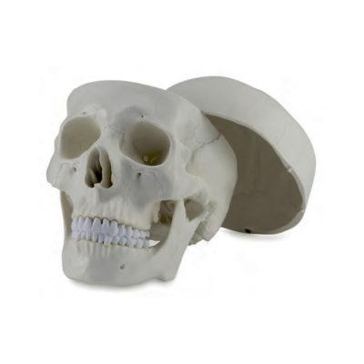 Crânio Clássico em 3 Partes