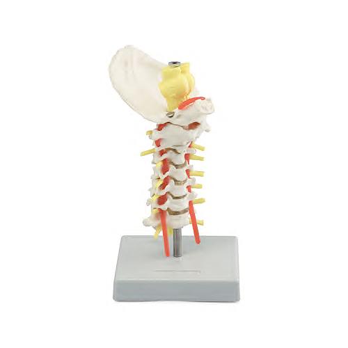 O modelo de coluna vertebral cervical é um modelo em tamanho natural da coluna que consiste em 7 vértebras cervicais com discos intervertebrais.