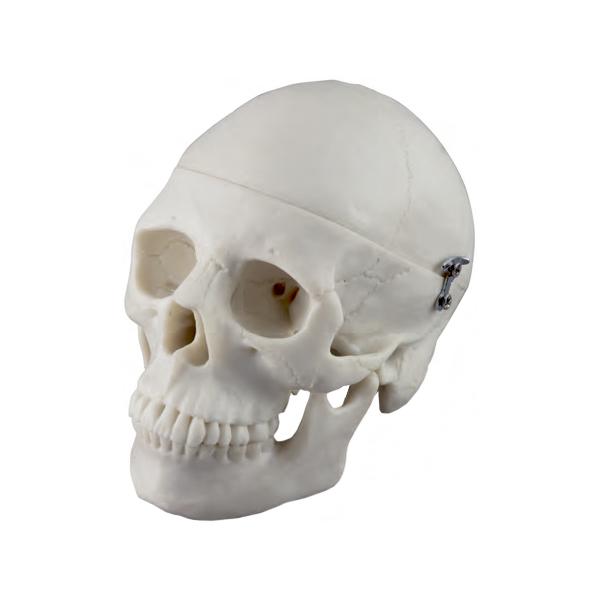 Mini Crânio 3 Partes, é um modelo com metade do tamanho natural e descreve em todos os detalhes estruturais o crânio humano.