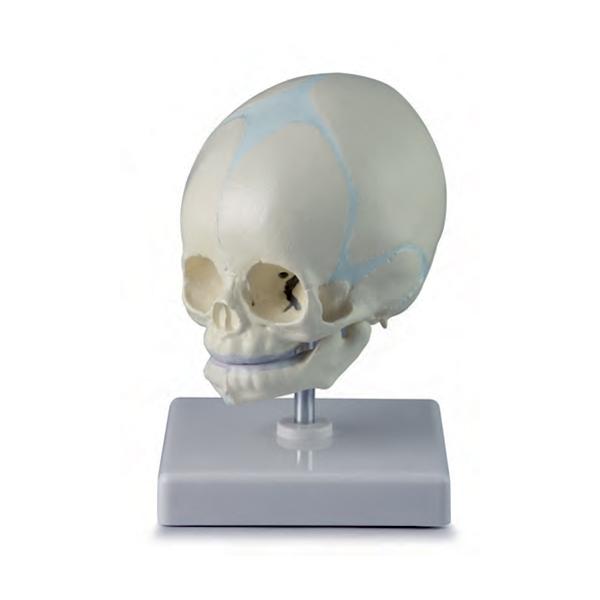 Crânio de Feto Montado em Suporte, é um modelo anatômico que representa um crânio fetal humano na 30ª semana de gravidez.