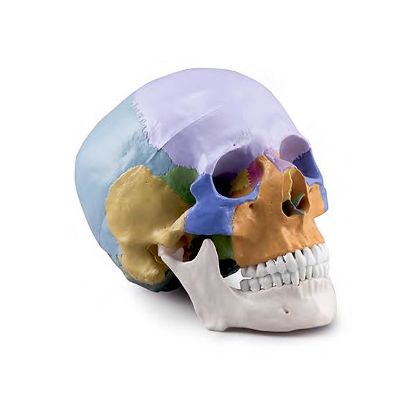 Crânio Didático Colorido 3 Partes, é um modelo em tamanho natural uma reprodução detalhada do crânio humano mostrado por cores didáticas.