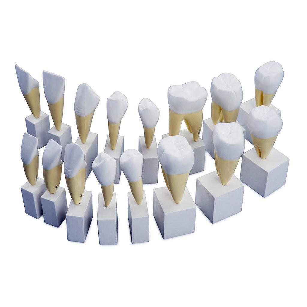 Série Clássica de Dentes Ampliado 4 Vezes, é composto por 16 peças, 4 vezes o tamanho natural, que mostra em detalhes a morfologia dos dentes permanentes.
