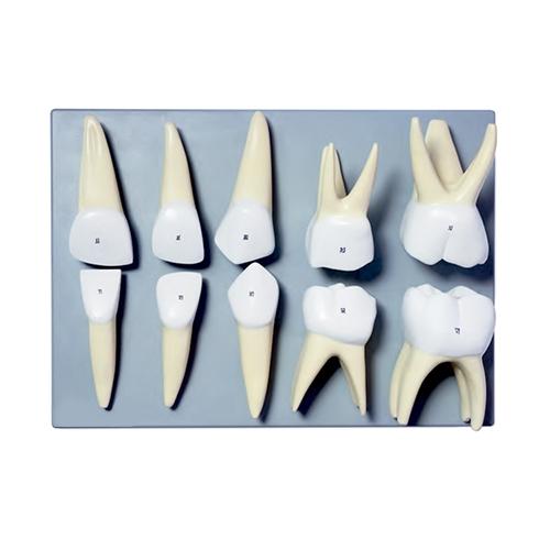 Série Clássica Dentes de Leite Ampliado 10 vezes, é um modelo em 10 partes, uma ferramenta útil para o estudo da morfologia dos tipos primários de dentes.