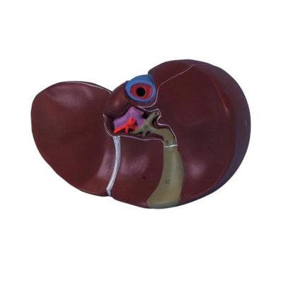 Fígado com Vesícula Biliar, é um modelo realista em tamanho natural que reproduz em detalhes um fígado humano com a vesícula biliar.