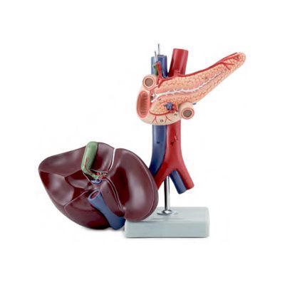Fígado com Vesícula Biliar Pâncreas e Duodeno 2 Partes