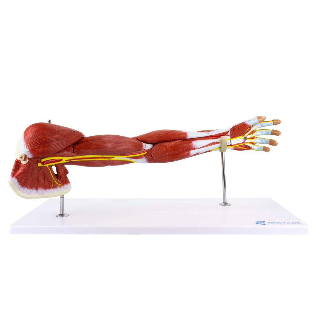 Braço de Luxo com Músculos Destacáveis em 7 Partes, é um modelo em tamanho natural que mostra em detalhes a estrutura anatômica completa do braço.