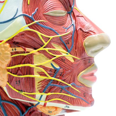 Metade da cabeça com Musculatura, é modelo em tamanho natural mostra a metade direita da cabeça humana e do pescoço, seccionado ao longo de um plano sagital.