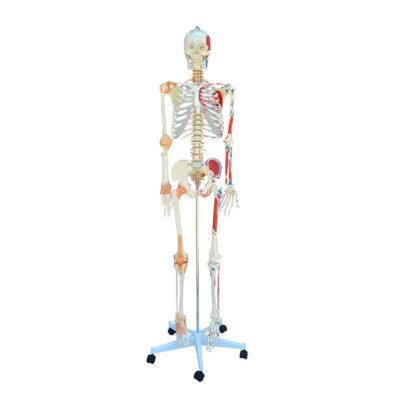 Esqueleto Adulto com Ligamentos e Músculos