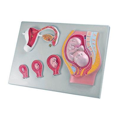 Estágios da Fecundação e Desenvolvimento do Óvulo