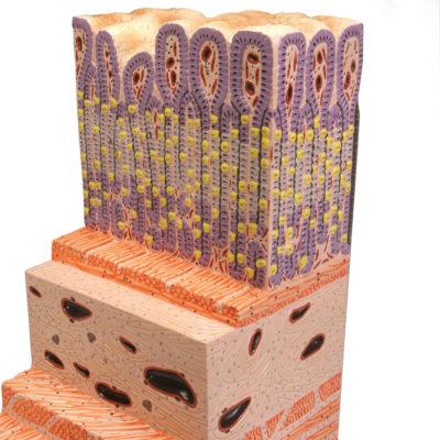 Estrutura da Parede do Estômago Ampliado 150 Vezes
