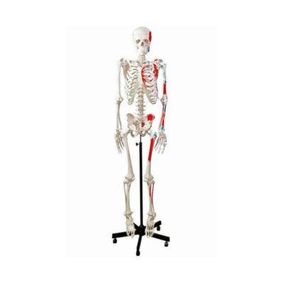 Esqueleto Adulto com Representação dos Músculos