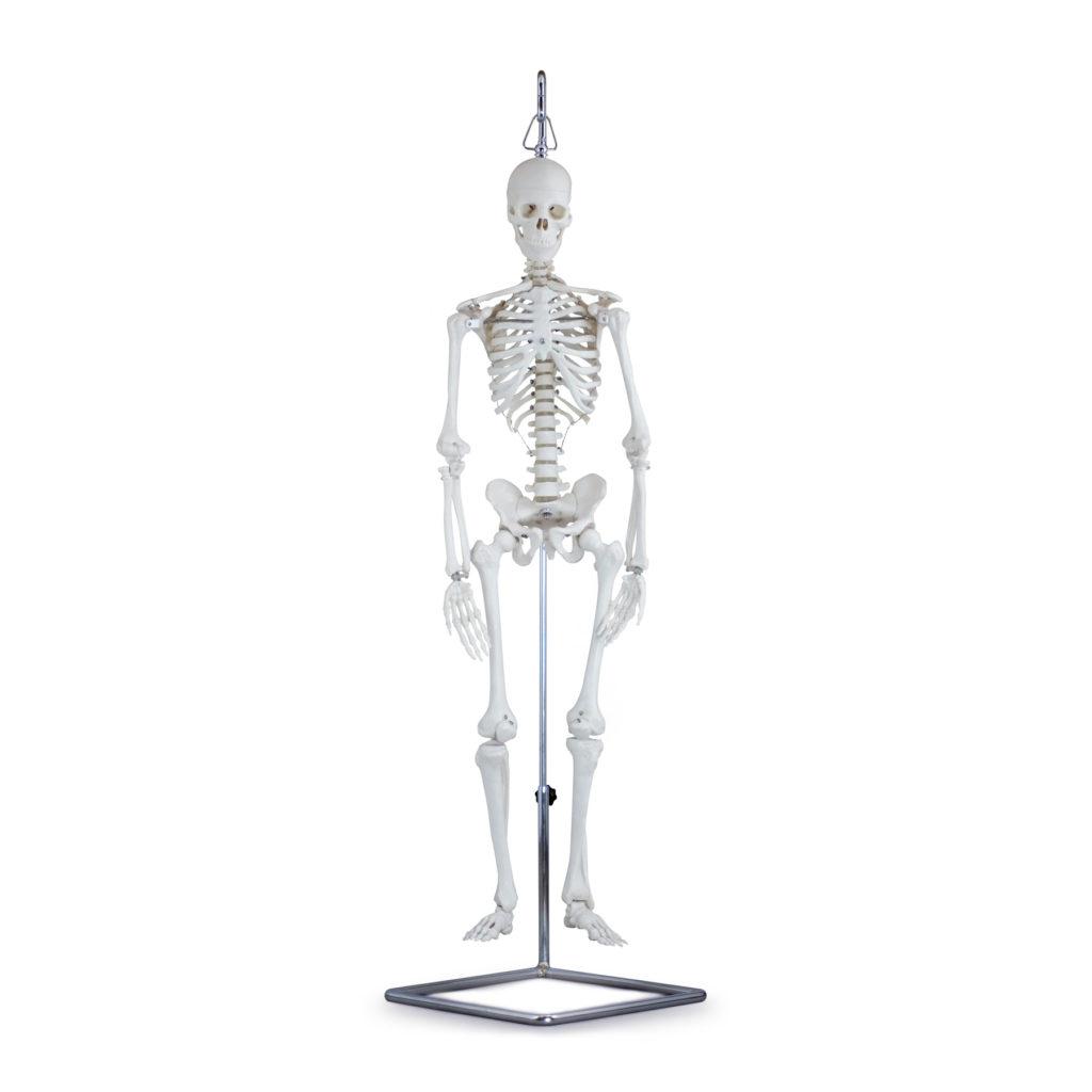 Mini Esqueleto Montado em Suporte de Suspensão, é um modelo com metade do metade do tamanho natural que mostra a anatomia do esqueleto humano em detalhes.