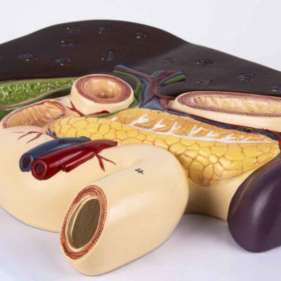 Fígado com Vesícula Biliar Pâncreas e Duodeno