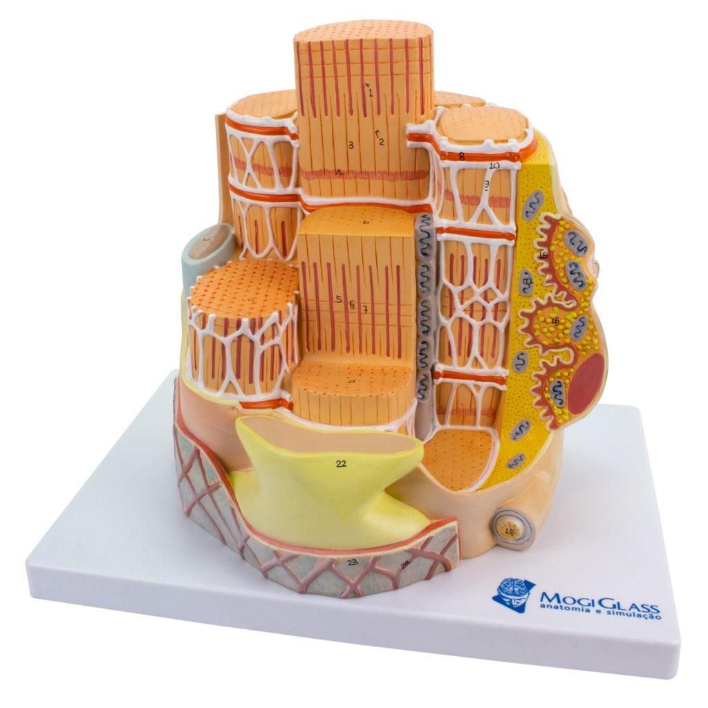 Fibra Muscular Esquelética Ampliado 40.000 vezes, é um modelo que mostra a estrutura das fibras musculares esqueléticas.