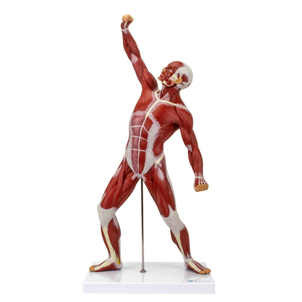Figura Muscular um quarto do Tamanho Natural, é uma ferramenta para o estudo da musculatura superficial, o sistema muscular possui cerca de 600 músculos.