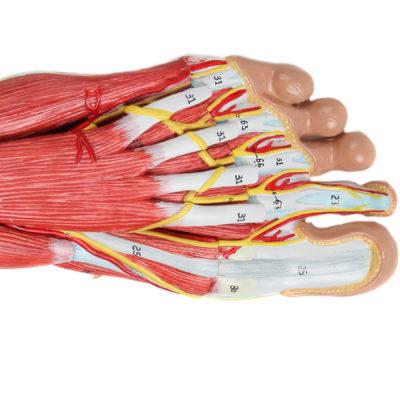 Modelo Anatomia do Pé 9 Partes Detalhe