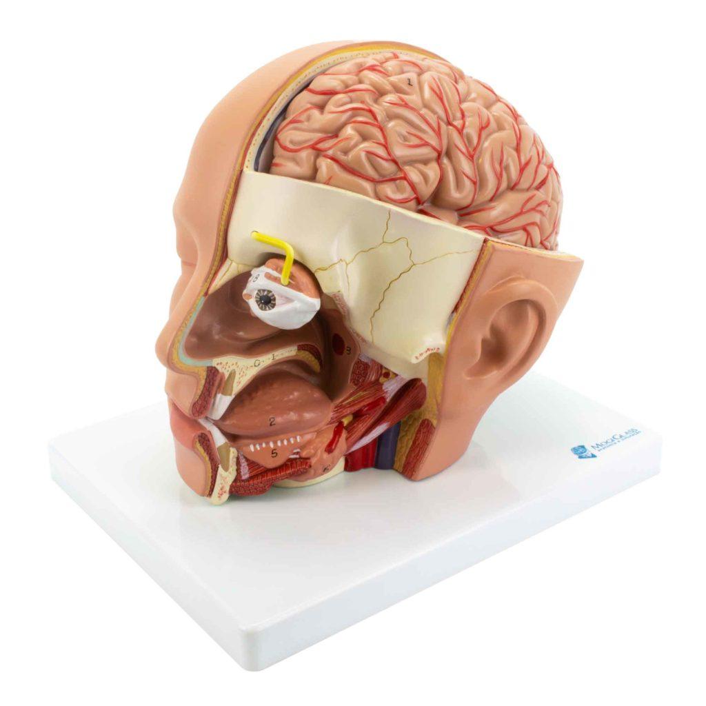 Cabeça de Luxo 4 Partes, tamanho natural de uma cabeça humana masculina com secção sagital e horizontal, mostrando crânio, cérebro, e cavidade oronasal.