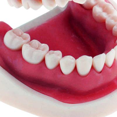 Modelo de Higiene Bucal Tamanho Natural