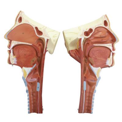 Musculatura da Cabeça Faringe 2 Partes CA125 aberta