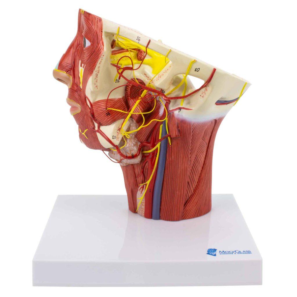 Musculatura da Cabeça com Artérias, é um modelo em tamanho natural CA127 que mostra a artéria carótida externa esquerda, incluindo ramificações terminais.