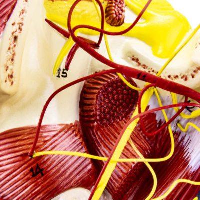 Musculatura da Cabeça com Artérias