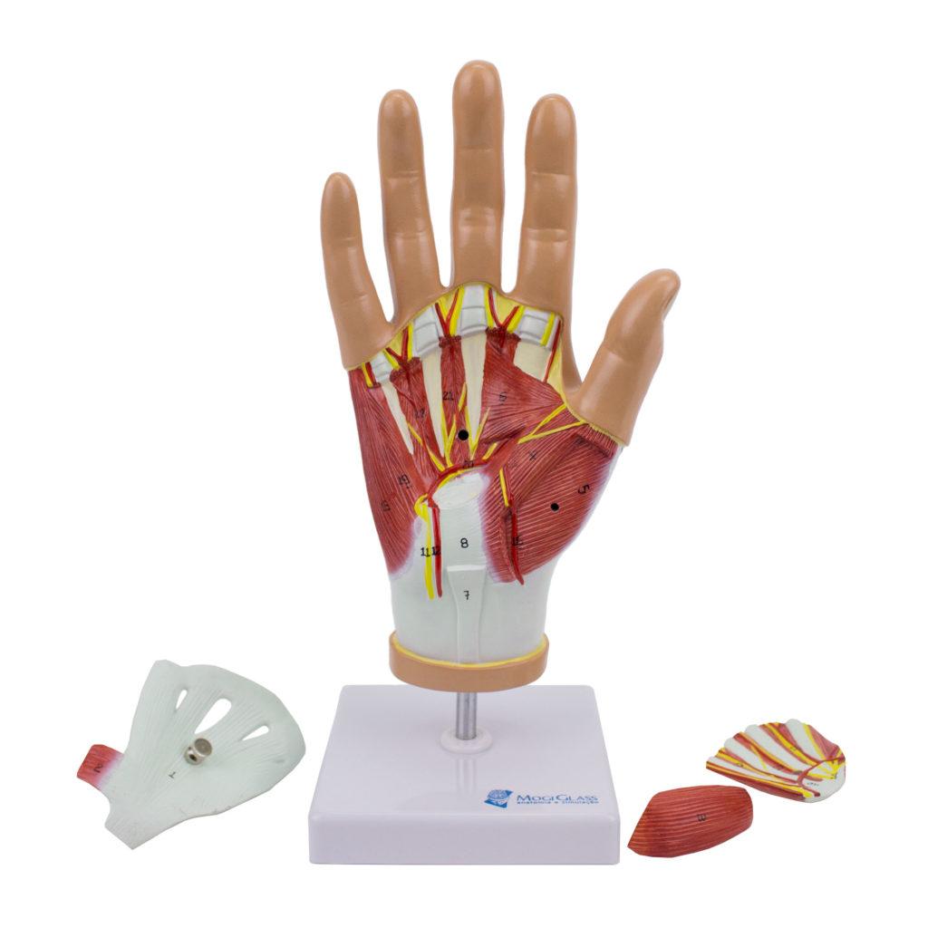 Musculatura da Mão em 4 Partes, tamanho natural visualiza os músculos em dissecção palmar, a dissecção superficial dorsal mostra ligamentos, nervos e vasos.
